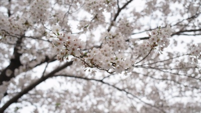 Sakura_007